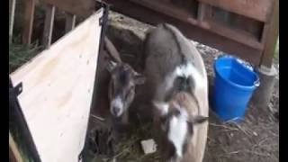 Goat/ Sheep Feeder & Stall Divider
