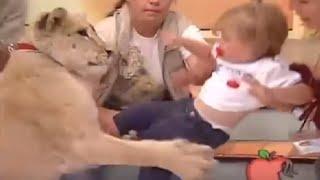 Leão ataca criança durante transmissão ao vivo
