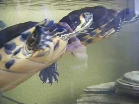 Tortugas de agua,con peces - YouTube
