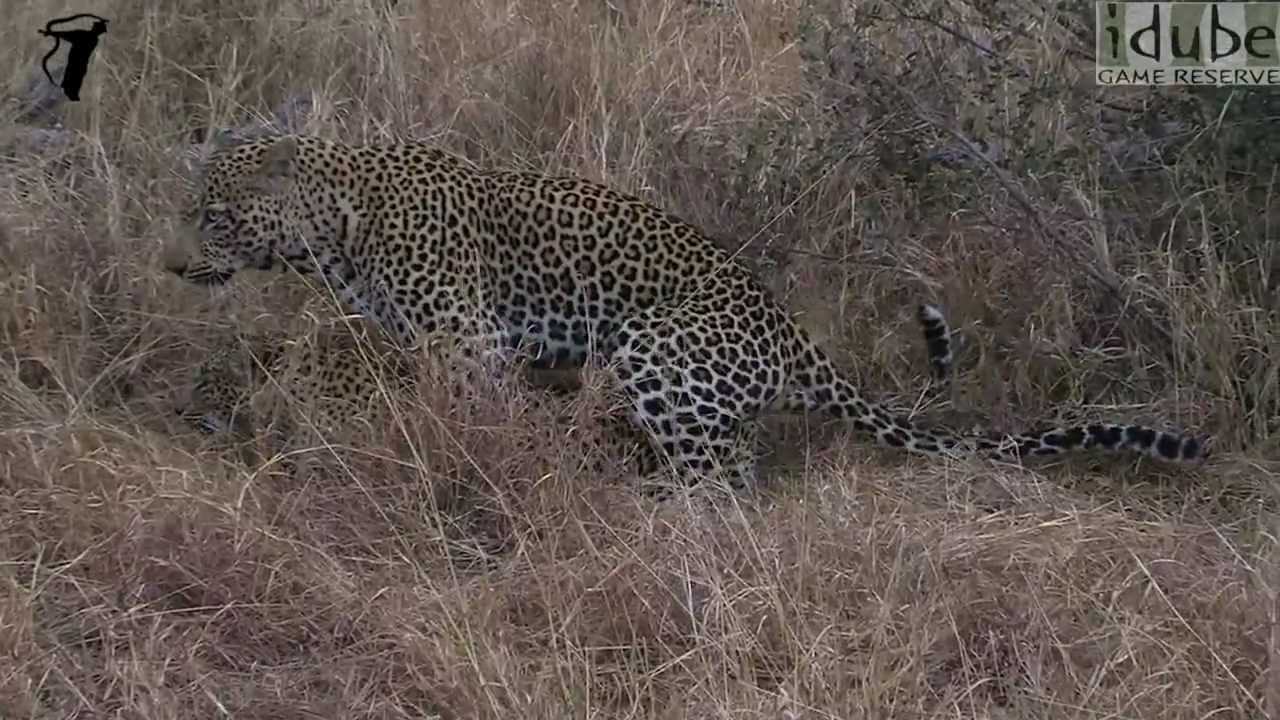 WILDlife: Animals Mating - Wild Leopards