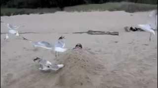 Video Seagulls attack boy.m4v download MP3, 3GP, MP4, WEBM, AVI, FLV November 2017
