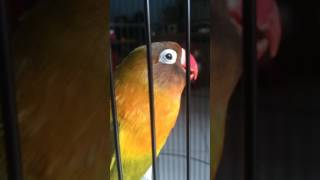 Video Olive lovebird download MP3, 3GP, MP4, WEBM, AVI, FLV Agustus 2018