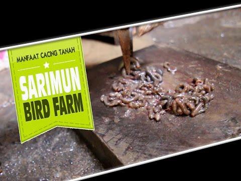 DUNIA HOBI : Cacing Tanah Bikin Anis Kembang Gacor di Sarimun Bird Farm
