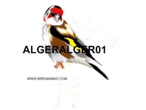 chant chardonneret d'Algerie  excellence chant