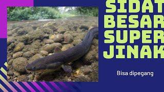 Ikan Sidat Terbesar ; Morea - Larike Maluku
