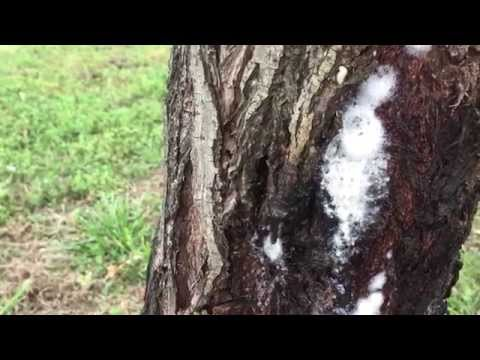 What is happening to my tree?  Is this slime flux?