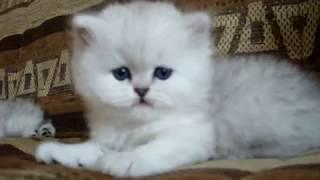 Персидские серебристые шиншиллы,котята