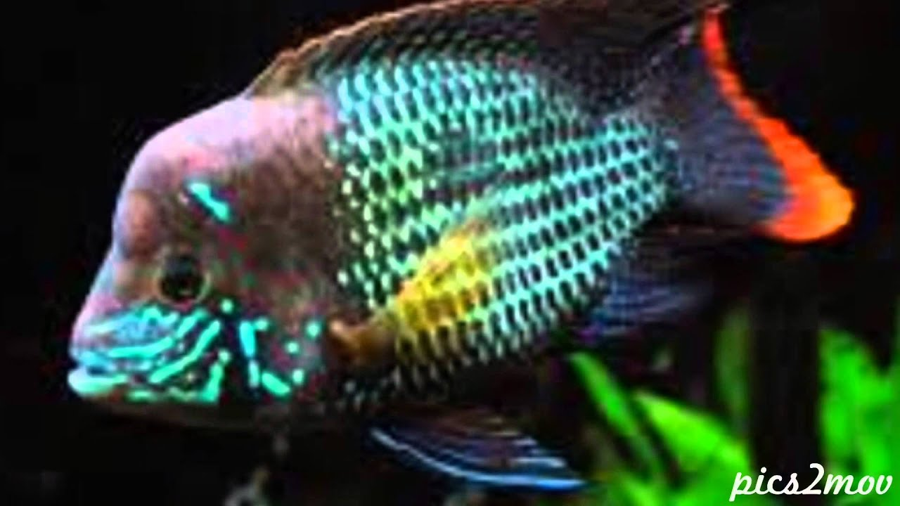 Angelfish besides Watch further Red Bay Snook Cichlids further Rusty Cichlid Lodotropheus Sprengerae besides Watch. on oscar fish tankmates