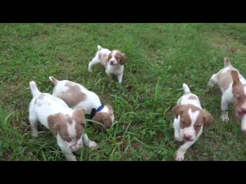 Peaches & Pups whelped 5-19-16 video 7-4-16