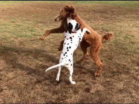 5 Month Old Dalmatian Puppy vs. Poodle at the Dog Park