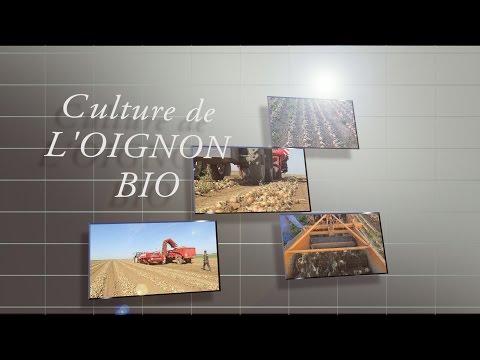 Culture de l'oignon Bio