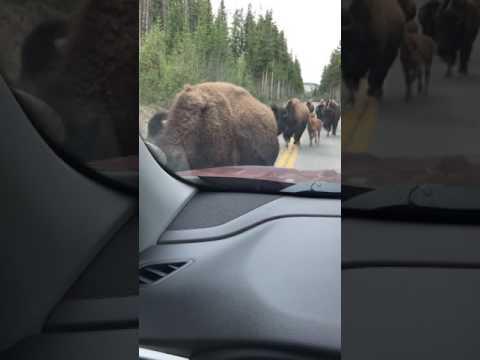 Yellowstone bison running