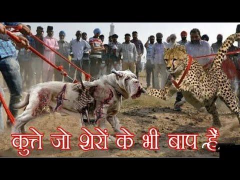 इन-कुत्तो-को-देखकर-शेर-भी-भगवान्-से-माफ़ी-मांगते-है-dangerous-dog-breeds-in-the-world