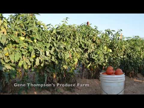Calhoun's TV: Gene Thompson Tomatoes