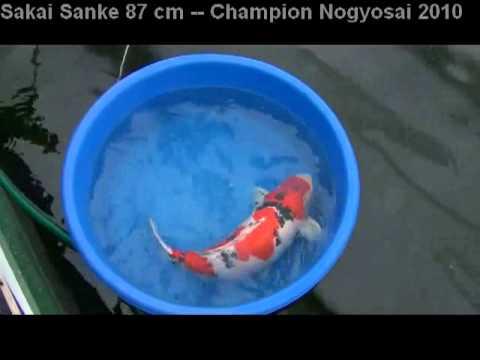 Koi fish sakai sanke grand champion hiroshima nogyosai for Grand champion koi for sale