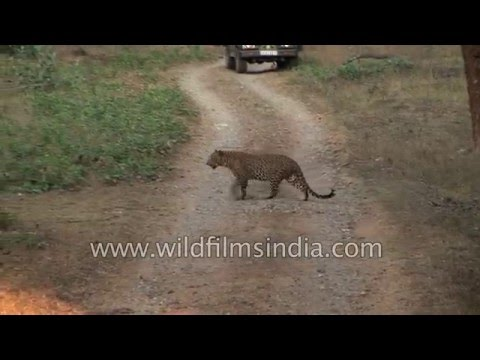Leopard on the prowl, in the Indian jungle