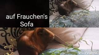 MeerschweinchenMama und Baby naschen Weide