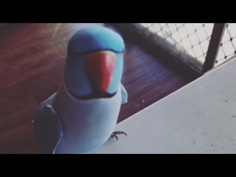 Super smart parrot knows how to play copycat with owner