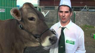 Sommet de l'Elevage 2011 : vaches de race Brune