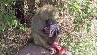 Repeat youtube video Baboon and her baby after giving birth - Lake Manyara (Tanzania)