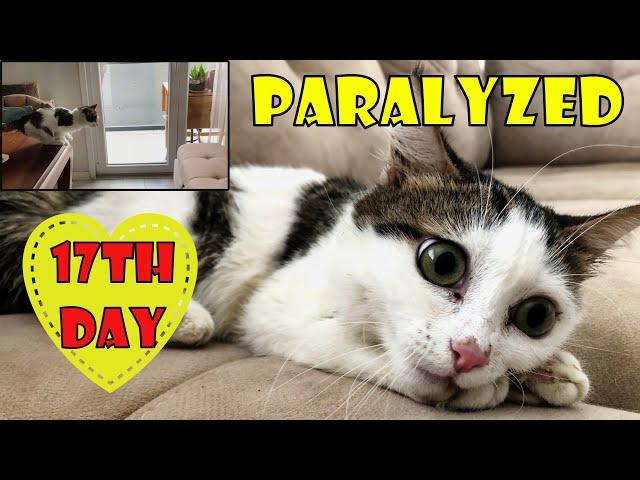 Le chaton paralysé, qui ne pouvait pas marcher, a commencé à voler après 17 jours de traitement.