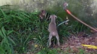 Doberman Puppies In Tallahassee Florida. 2