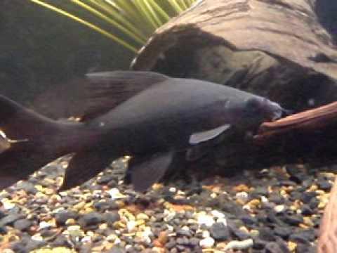 23cm black shark labeo chrysophekadion youtube for Black ghost knife fish for sale