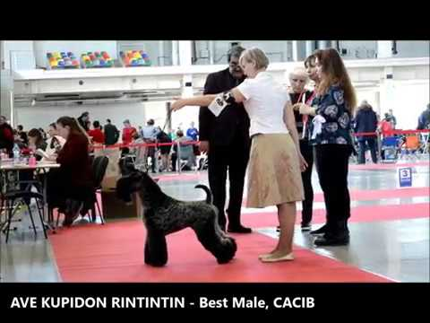 Kerry Blue Terriers, International Dog Show, 14.04.2018 Ekaterinburg
