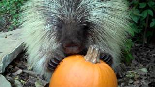 Teddy Bear, the talking porcupine, likes pumpkin, too!