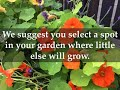 How to Grow Nasturtium Plants at Home