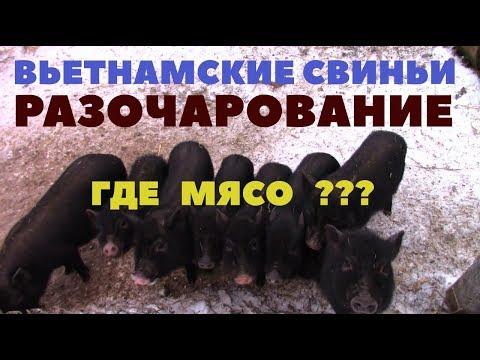Вьетнамские свиньи - разочарование