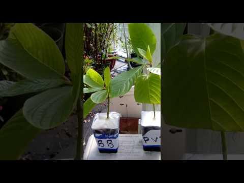 Kratom plants from Phil not bill
