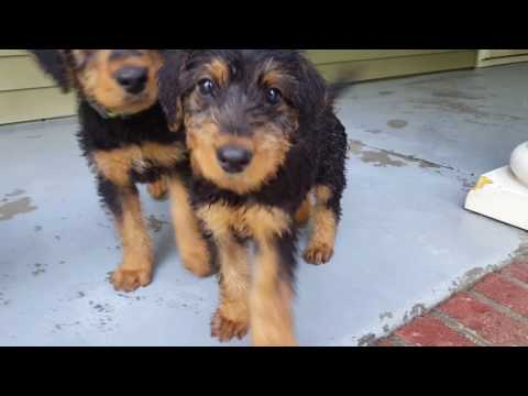 airedale-terrier-puppies-sale-video---s-&-s-family-airedales---early-morning-with-airedales