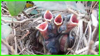 Baby Sparrows in Nest in Bush 4/15 parents tending and feeding young birds