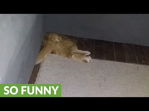 Cat gets stuck trying to squeeze underneath couch
