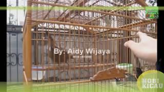 Suara Burung CILILIN COKLAT Gacor Master Murai Batu - TEMBAKAN DAHSYAT