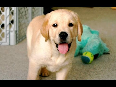 Cutest Troublemaker Labrador Compilation 2016