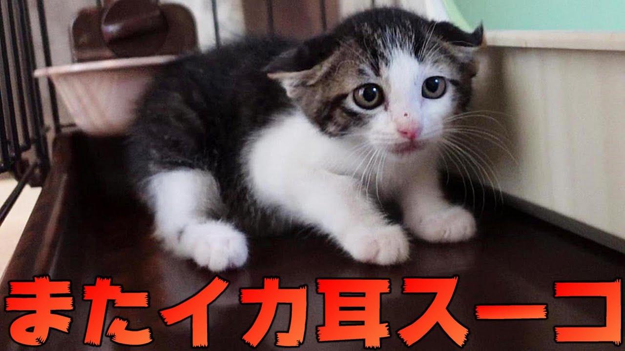 やっぱりなんだかんだ毎日イカ耳しちゃう子猫のスーコ