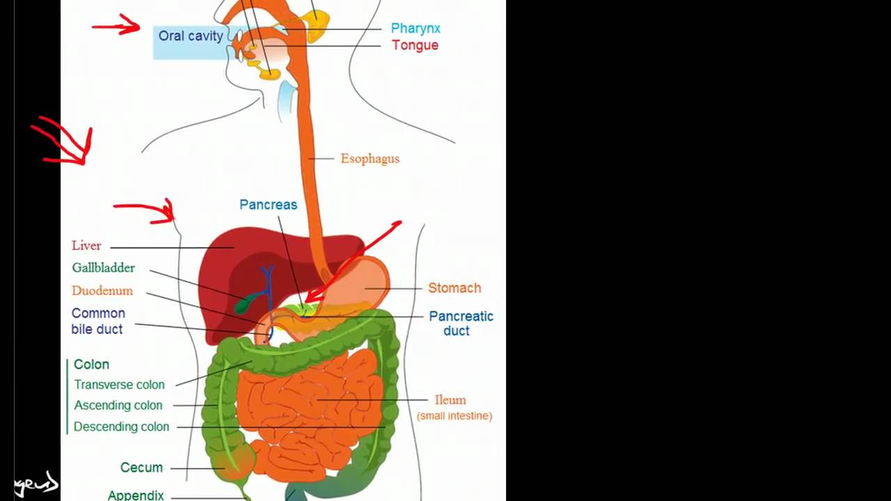Overview of the Gastrointestinal System - YouTube