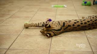 African Serval in Reading, Pa