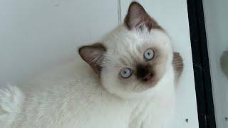 Bringing joy during coronavirus lockdown (British Shorthair Colourpoint Kitten 35month old)
