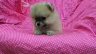 [for Sell] Tinkerbell, Female Mini Pomeranian Cream Sable