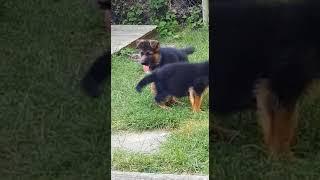 Nero (5 Wochen alt) beim Spielen