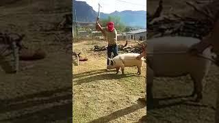 Как не нужно резать свинью