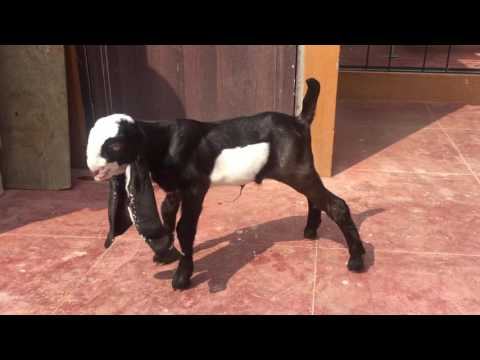 Bangalore Tajjammul's jamunapari goat breed upcoming star 9035010282