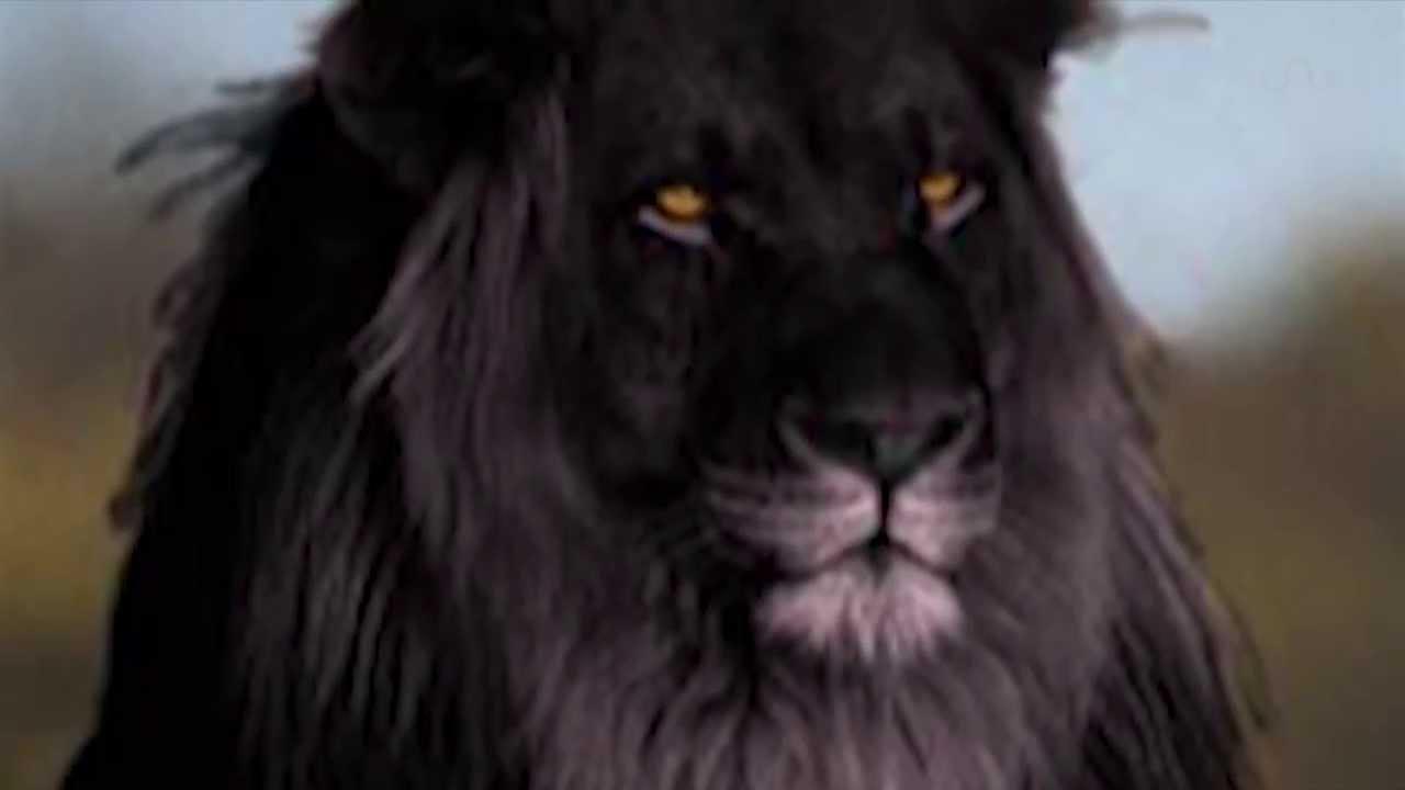 Сколько осталось черных львов в мире интимзнакомства в нижнем новгороде