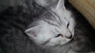 Шотландский Скоттиш- страйт Scottiish kitten Лапочка!!!