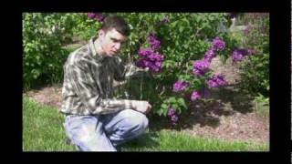 How to Grow and Care for Lilac Plants Video