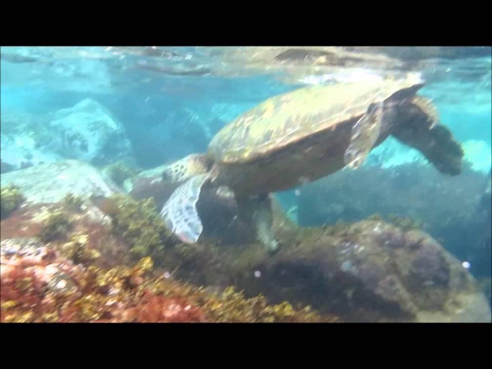 what do hawaiian green sea turtles eat