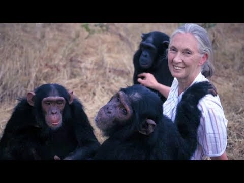 Icon:  World's foremost expert on chimpanzees